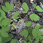 Blue Cohosh leaf