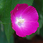 Bush's Poppy-mallow