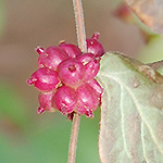 Coralberry