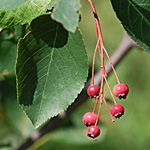 Downy Juneberry red fruit