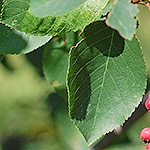 Downy Juneberry leaf