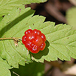 Dwarf red raspberry