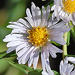 Redstem aster white flower