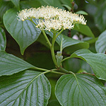 Alternateleaf Dogwood