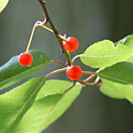 Pin Cherry red fruit