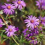 Silky Aster