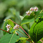 Common dogbane
