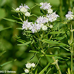 Virginia Mountain Mint plant