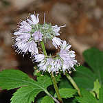 Virginia Waterleaf