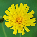 Rough Hawkweed
