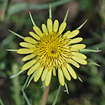 Meadow Goatsbeard